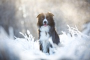 Border Collie Pin im Frost